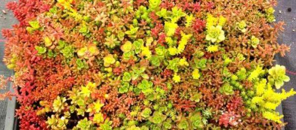 Species Grown Sedum Green Roof