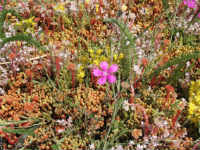 Here the biodiverse mat has a wealth of wild flowers.