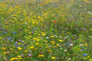 Wild Flowers on a biodiverse mat ready for a Green Roof